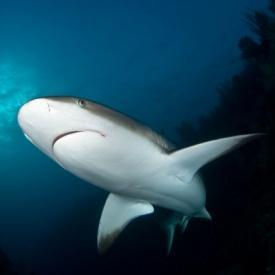 Carribean reef shark in Jardines de la Reina